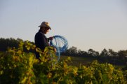 Les vignes attrapées au lassot